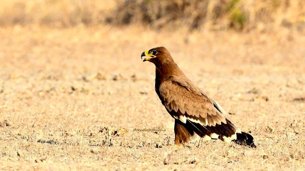 birds of little rann of kutch